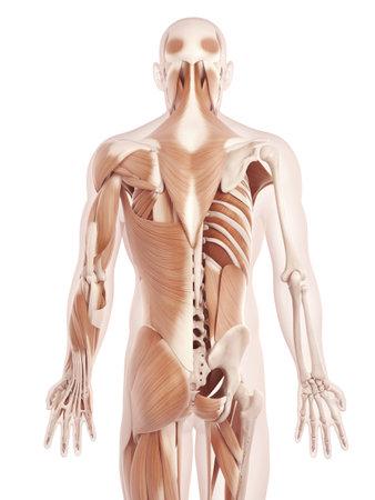 anatomie illustratie van de rugspieren Stockfoto