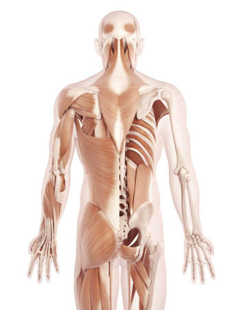 anatomy illustration showing the back muscles Stock Photo