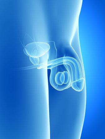 anatomy illustration of the human penis