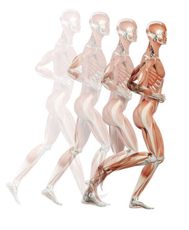 Corriendo Ilustración Ciclo - Los Músculos Fotos, Retratos, Imágenes ...
