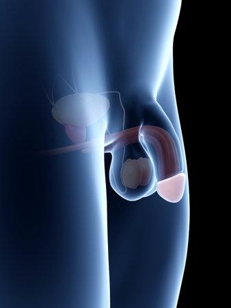 Ilustración De La Anatomía Del Pene - Glande Fotos, Retratos ...