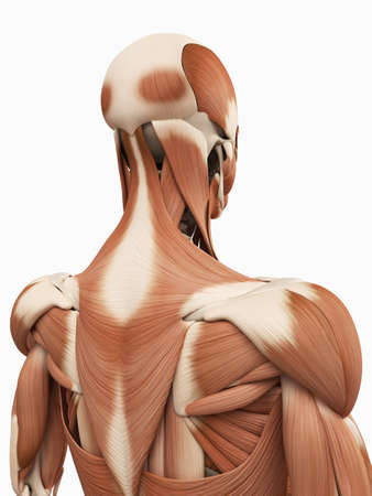 medizinische 3D Darstellung der oberen Rückenmuskulatur