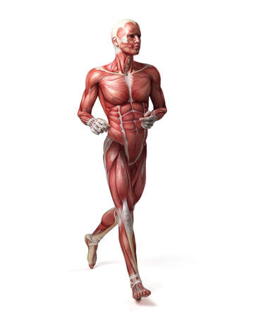 medical 3d illustration of the male muscular system 版權商用圖片
