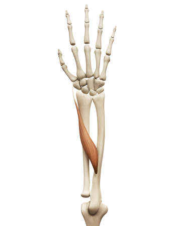 Anatomía Muscular - El Abductor Largo Del Pulgar Fotos, Retratos ...