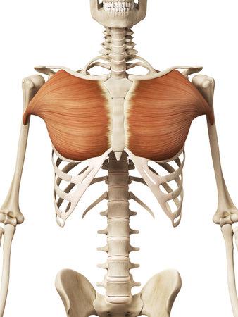 muscle anatomy - the pectoralis major 写真素材