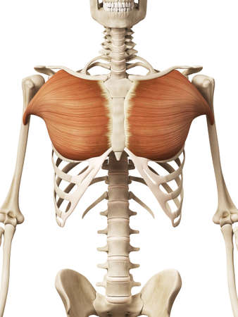 Muscle Anatomy - The Pectoralis Major Stock Photo, Picture And ...