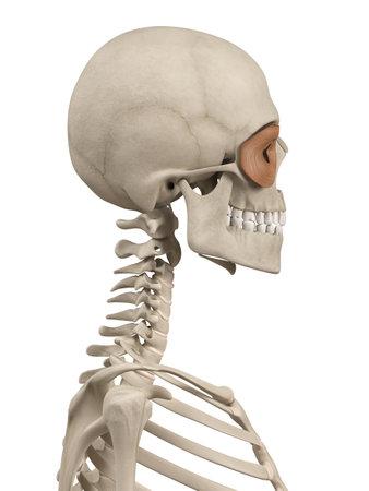 Anatomía Muscular - El Orbicular De Los Párpados Fotos, Retratos ...