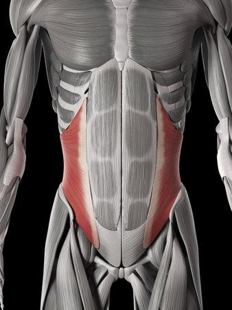 Anatomía Muscular Humana - Oblicuo Interno Fotos, Retratos, Imágenes ...