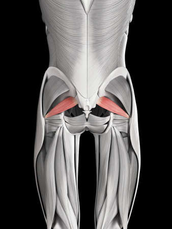 human muscle anatomy - piriformis