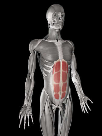 Human Muscle Anatomy Rectus Abdominis Stock Photo Picture And