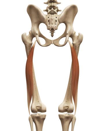 근육 해부학 - 팔뚝 femoris 긴 머리