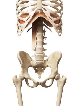 anatomie des muscles - le diaphragme