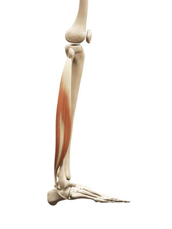 Muscle Anatomy - The Fibularis Longus Stock Photo, Picture And ...