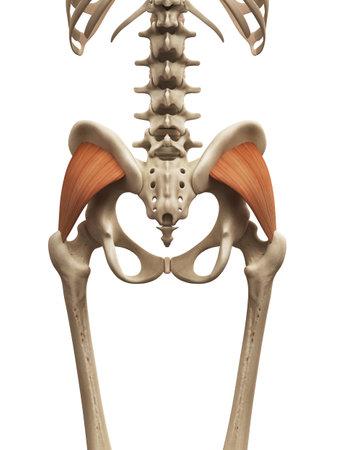 근육 해부학 - 대둔근 스톡 콘텐츠