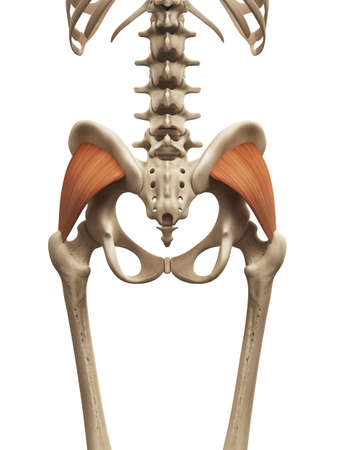 Muscle Anatomy The Gluteus Minimus Stock Photo Picture And