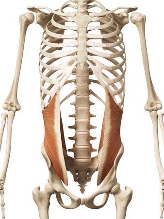 muscle anatomy - the internal oblique Foto de archivo