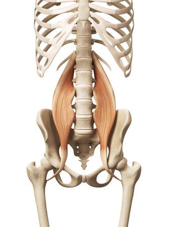 근육의 해부학 - 메이저 큰 허리 스톡 콘텐츠