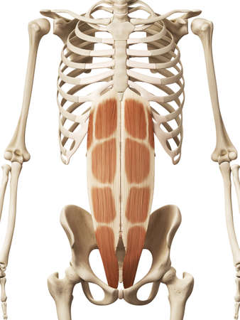 muscle anatomy - the rectus abdominis
