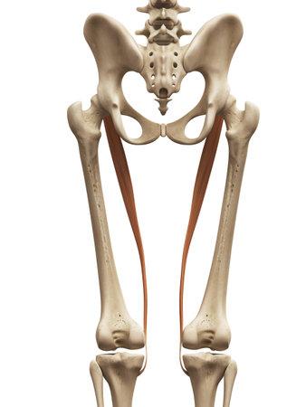Anatomía Muscular - El Sartorio Fotos, Retratos, Imágenes Y ...