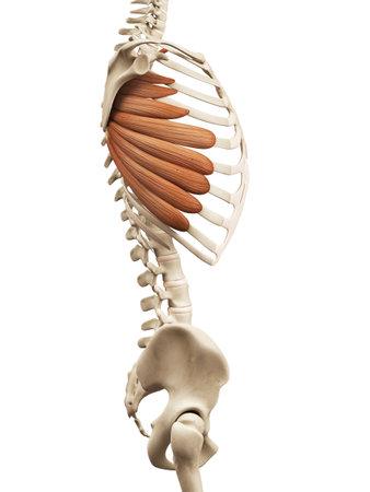 muscle anatomy - the serratus anterior Stock Photo