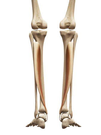 Muscle Anatomy The Tibialis Posterior Stock Photo Picture And