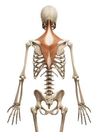 Anatomía Muscular - El Trapecio Fotos, Retratos, Imágenes Y ...