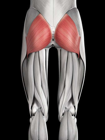 Human Muscle Anatomy - Gluteus Maximus Stock Photo, Picture And ...