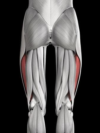 Anatomía Muscular Humana - Vasto Externo Fotos, Retratos, Imágenes Y ...