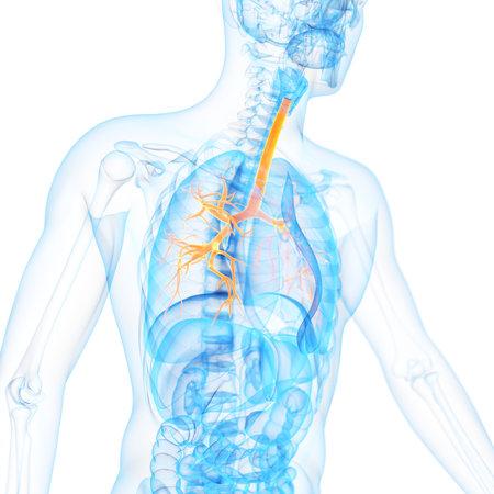 medische 3D-afbeelding van de bronchiën Stockfoto