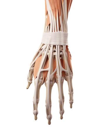 medische nauwkeurige illustratie van de hand spieren