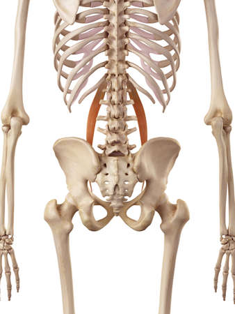 medical accurate illustration of the psoas minor