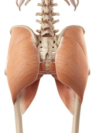 ヒップの筋肉の医療の正確なイラスト 写真素材