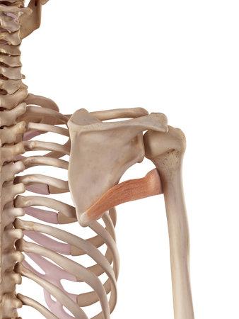大円筋の正確な医療のイラスト 写真素材