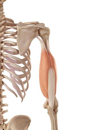 medische nauwkeurige illustratie van de triceps