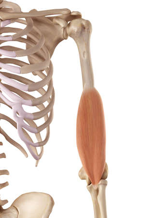 medical accurate illustration of the brachialis