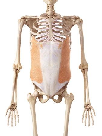 medical accurate illustration of the external oblique Foto de archivo