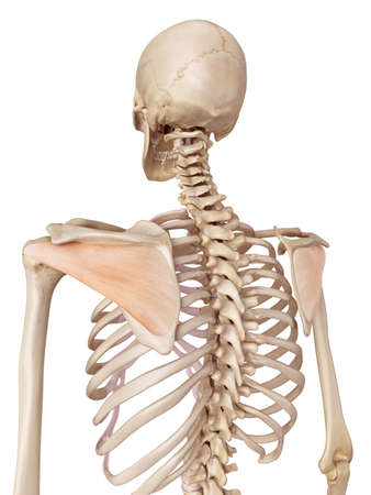 medical accurate illustration of the infraspinatus