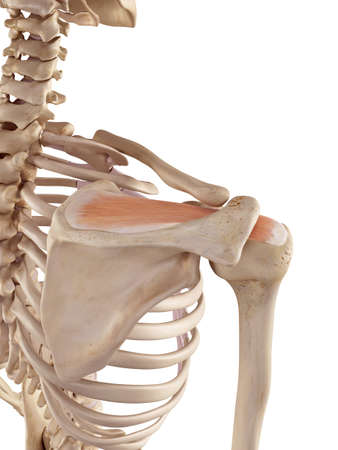 medical accurate illustration of the supraspinatus Stock Photo