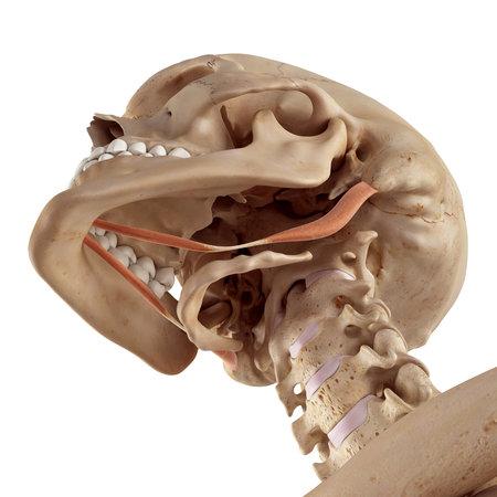 medische nauwkeurige illustratie van de tweebuikvliezend