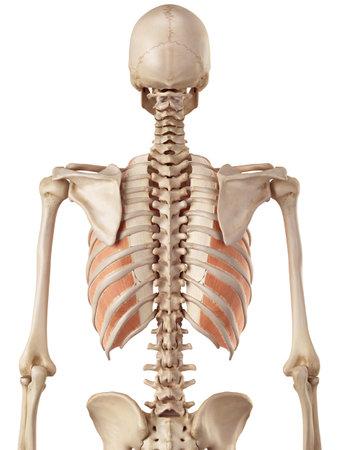 内側の innercostals の医療の正確なイラスト 写真素材 - 42219494