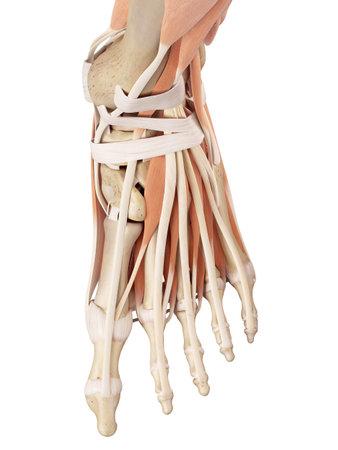 ilustración médica precisa de los músculos del pie