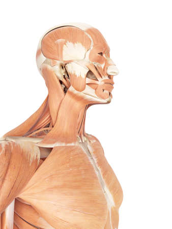 medical accurate illustration of the neck and throat muscles Stock Photo