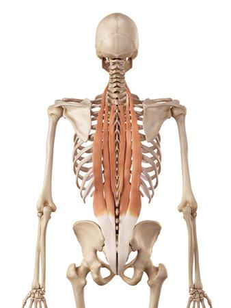深く背中の筋肉の医療の正確なイラスト