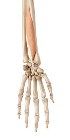 medical accurate illustration of the flexor pollicis longus Stock Photo