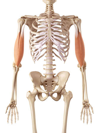 medical accurate illustration of the biceps 版權商用圖片