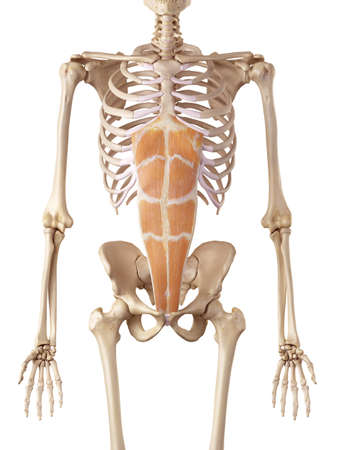 medical accurate illustration of the rectus abdominis