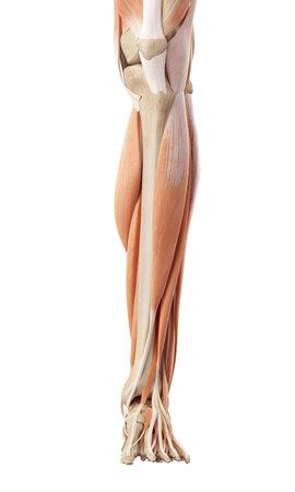 medische nauwkeurige illustratie van het onderbeen spieren Stockfoto