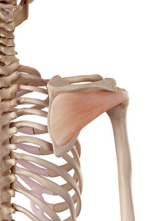 棘下筋の正確な医療のイラスト 写真素材