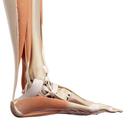 Ilustración médica precisa de los músculos del pie Foto de archivo - 42219630