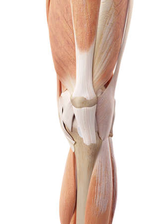 medical accurate illustration of the knee